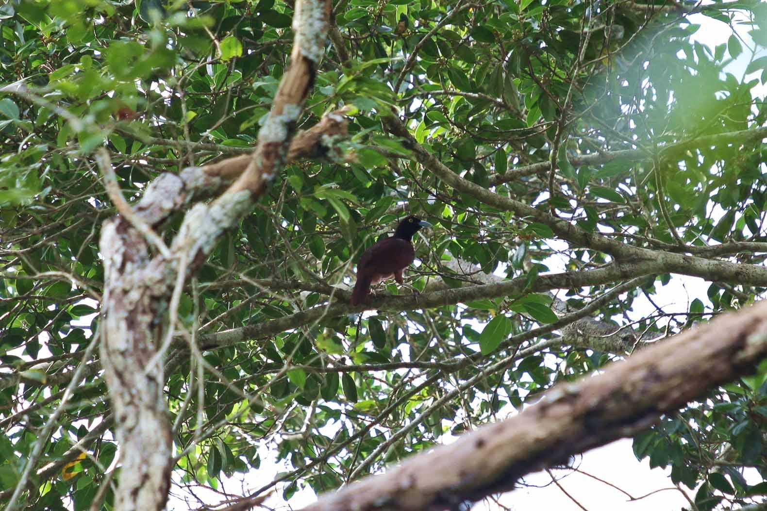 Paradiesvogelweibchen