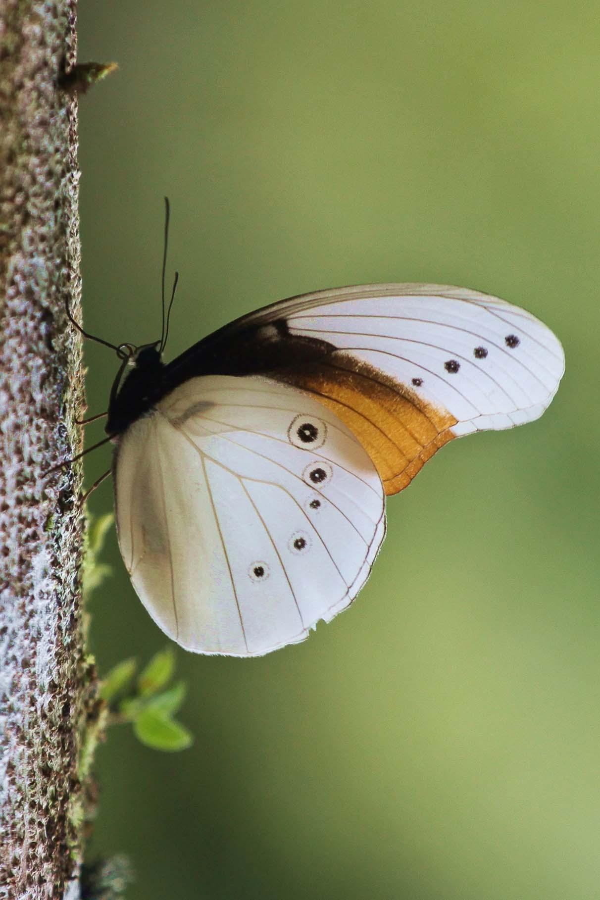 riesiger Schmetterling