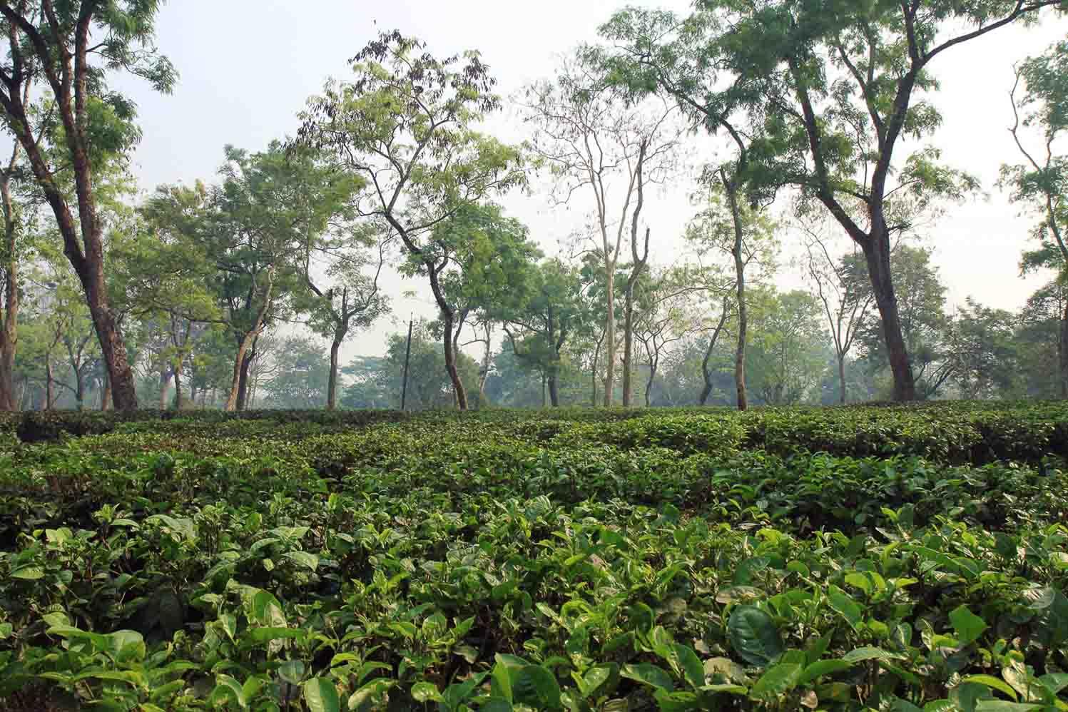 teeplantage in assam