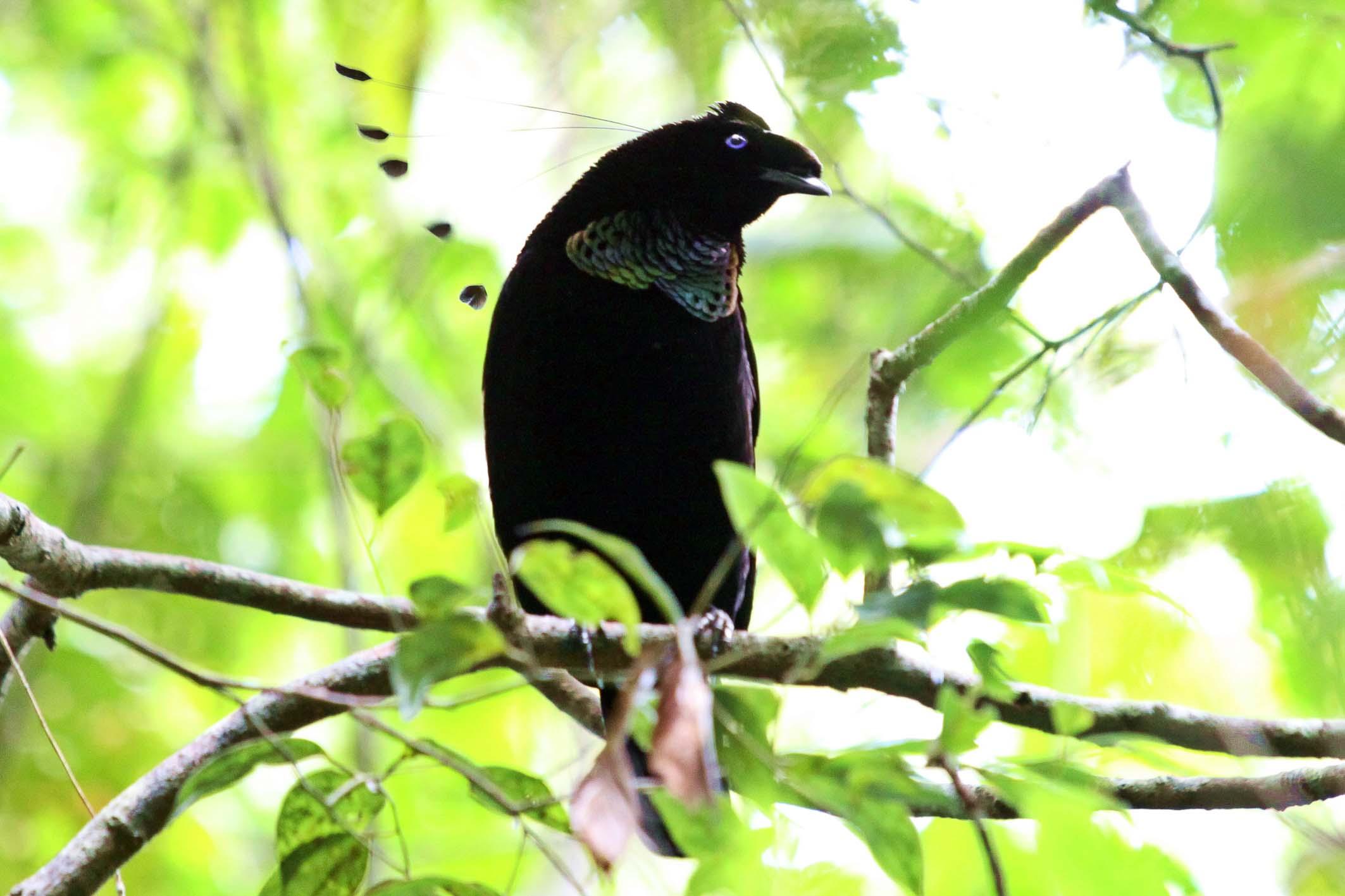 western parotia-auch ein paradiesvogel