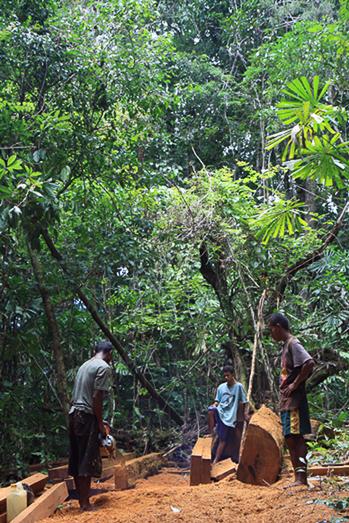 Überall illegales Holzfällen im Dschungel