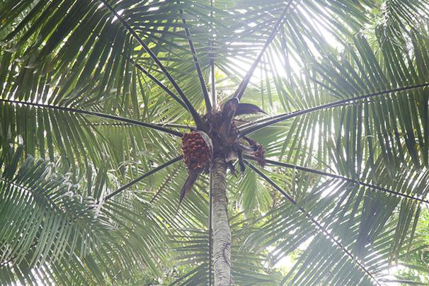 Dschungelpalme