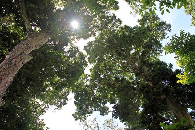 Kenari-bäume
