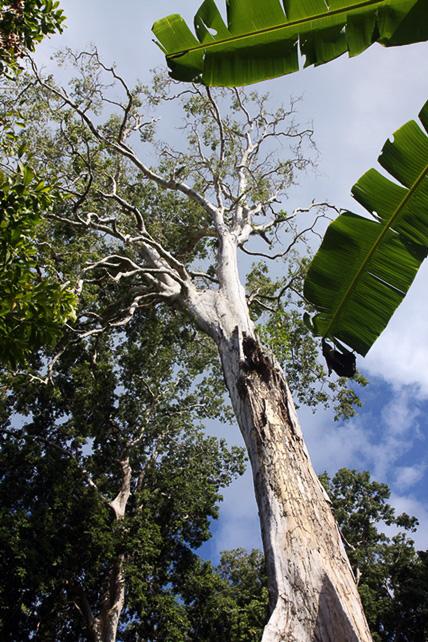 großer Kenaribaum