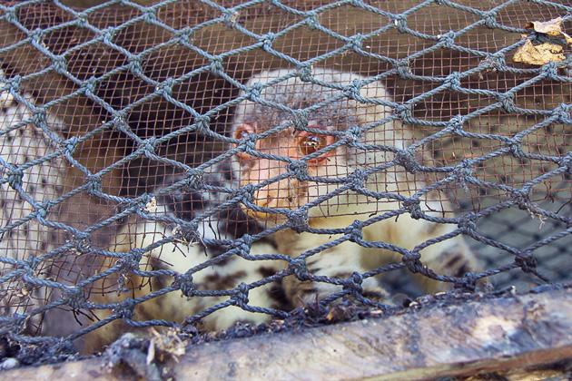 Kuskus sind leider nur im Käfig zu sehen