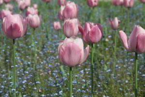 Blumen überall in den Parks von Bukarest