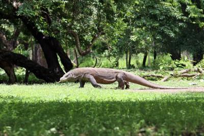Komodo-Drachen unterwegs