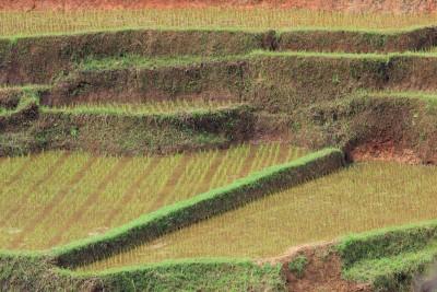 Reisfelder von Ruteng