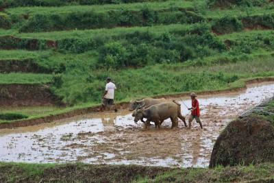 Reisfelder werden bearbeitet