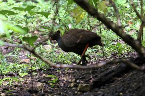 jungle-chicken
