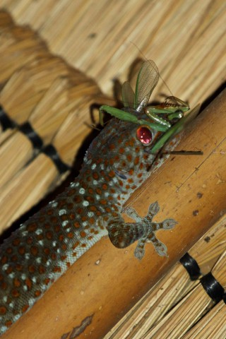 Gecko läßt sich Gottesanbeterin schmecken