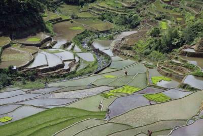 Überall Reisterrassen
