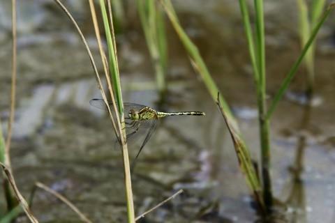 Libelle in den Reisfeldern