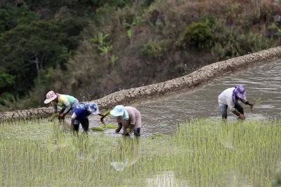 Setzen der Reispflanzen